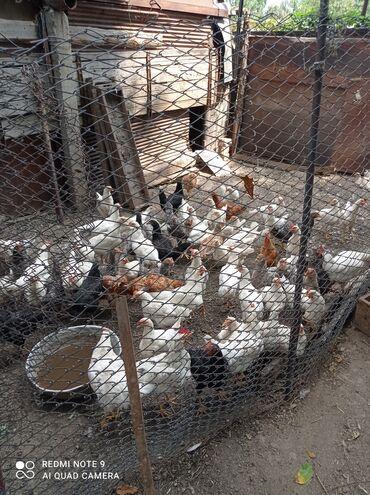 Животные - Орловка: Продаю кур несушек,в основном курочки,есть и петухи.Оптом по 300 если
