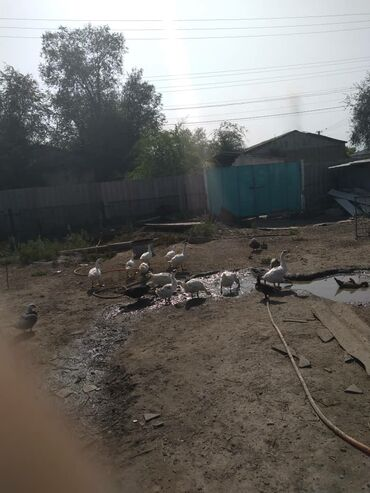 skidki na futbolki в Кыргызстан: Продаю гусей вывод майский