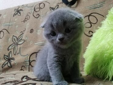 Продаются котята. Британцы. Веслаухие