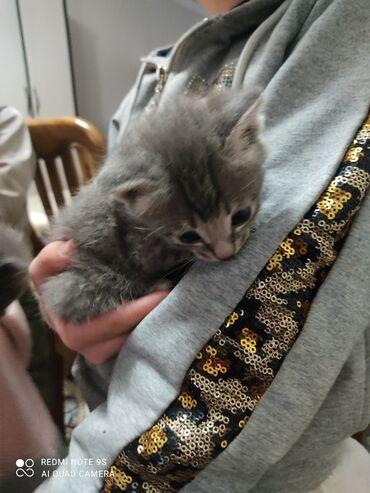 Находки, отдам даром - Ала-Тоо: Отдам котят в хорошие руки,кушают,к лотку приучены