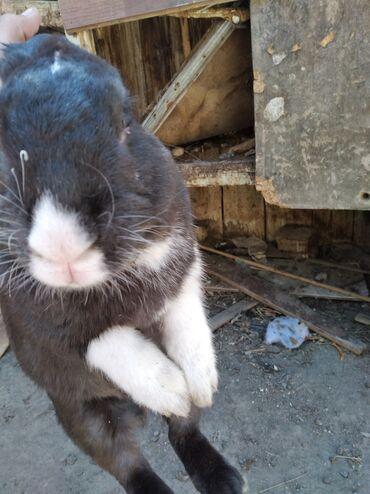 Очень срочно продаю кроликов 8 мес. 1год.1крол, 2 кролихи.Привитые