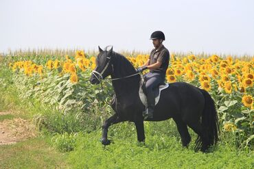 Prodaja frizijskih konja i rezervacija ždrebadi.Roditelji uveženi iz