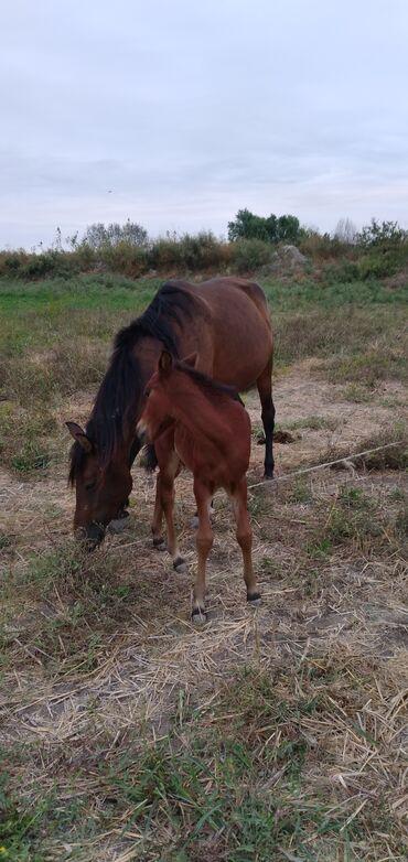 31 elan | HEYVANLAR: Balalı atdı balası erkək 20 günlüydü atın 5 yaşı var minilir arabayada