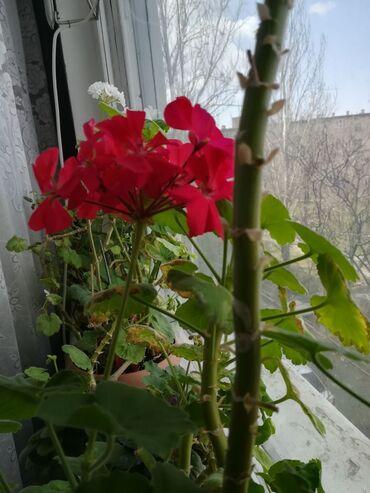 Комнатные цветы. Ухоженные. Цена договорная