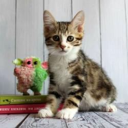 тигровые коты в Азербайджан: Курильский бобтейл     Кошки этой породы отличаются дружелюбным, общит