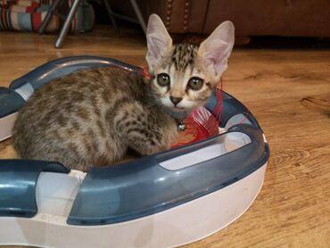 Γατάκια ΣαβάναΕκπληκτικά αρσενικά και θηλυκά γατάκια σαβάναςΓατάκια