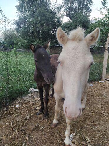 Продаю пони шатланская пароды Албинос галубаглазый