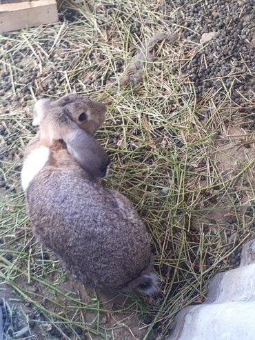 продаю  кроликов баранов  в Лебединовка