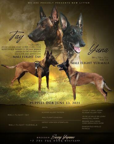 10 объявлений | ЖИВОТНЫЕ: Продам щенков Бельгийской Овчарки . Малинуа. Документы ФЦИ СКК. Родите