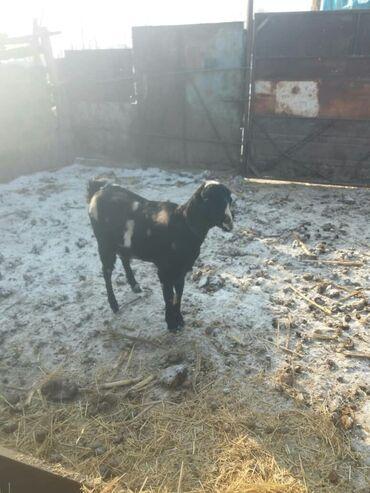 Доски 37 х 50 см для письма маркером - Кыргызстан: Продаю нубийскую козу молочной породы. Окотилась, козлёнок продан. Без