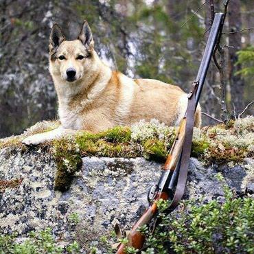 Приглашаю всех любителей лаек и охоты в Бишкек