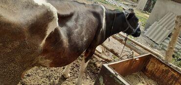 Животные - Дмитриевка: Коровы, быки