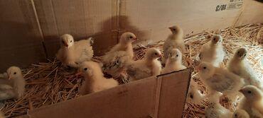 Животные - Кыргызстан: Продаю | Цыплята