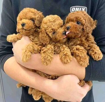 Φοβερά κουτάβια Toy Poodle όλα έτοιμα για επανεκκίνησηΕλάτε φοβερά