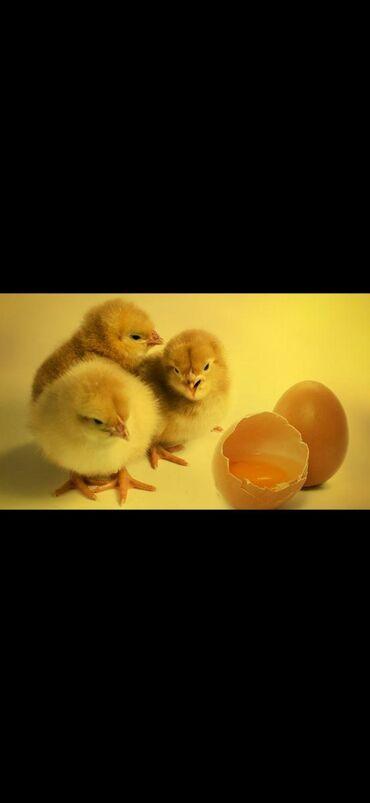 Куплю суточные цыплята Жөжө алам 1 күндүк кара балта
