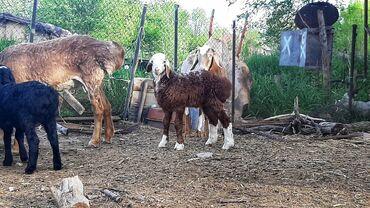 С/х животные - Кыргызстан: Продаю | Ягненок | Для разведения