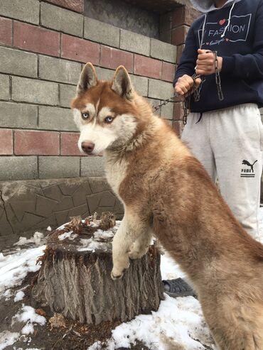 купить для собаки в Кыргызстан: Срочно!!! Сибирский хаски девочка 8мес купили в питомнике есть