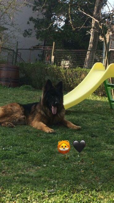 Nemacki ovcar - Srbija: Nemacki Ovcar vrhunskog porekla starosti 2 godine spreman za parenje!