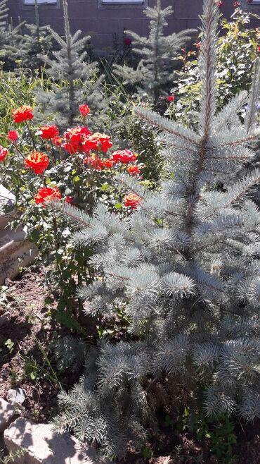 Семена и уличные растения - Кыргызстан: Продаются Тянь-Шанские голубые ели от 1 до 2 метров. Цена договорная
