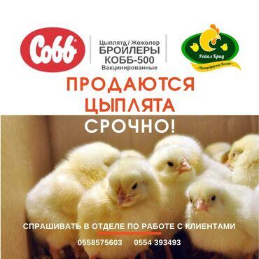 botilony na kabluke в Кыргызстан: Кобб 500, срочно!  Вакцинированные