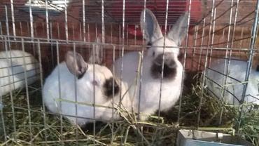 Продаю калифорнийских крольчат 21.10.18 в Бишкек