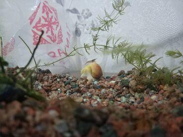 Креветка аквариумная (неокардина сакура)семейство самых неприхотливых