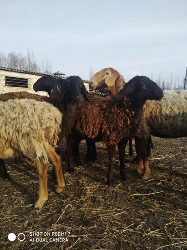 Продаю | Овца (самка) | Арашан | Для разведения | Племенные
