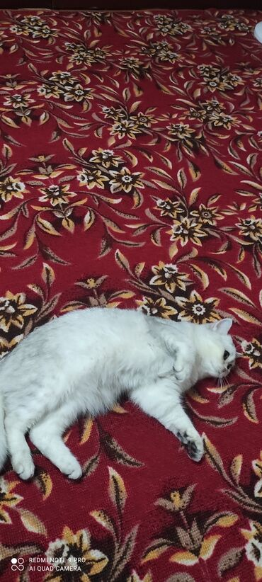 котенок в Кыргызстан: Продается красивый котенок британец 9 месяцев проглистован привит
