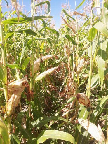 10927 объявлений: Продаю кукурузу в початках и Рушеный !!! стебель (Бир боо Бакал)цена д