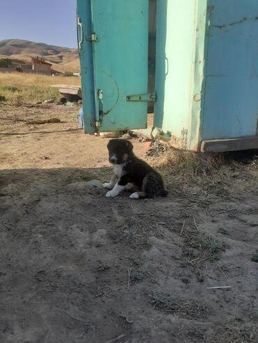 Животные - Кызыл-Туу: Собаки