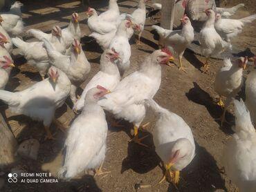 Животные - Токтогул: Продаются петушки, оптом, петушкам 2 месятца, вес 1 кг 250 сом