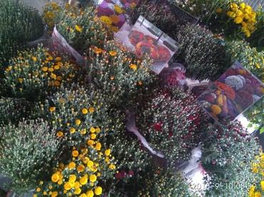 Шаровидная хризантем  в Лебединовка