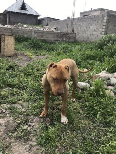 собаки сколько стоит в Кыргызстан: Питбуль 10 месяц