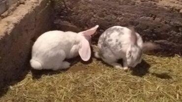 Животные - Кировское: Продаю кроликов породистых большие 1600 маленькие pa300 сомов