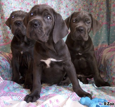 Absolute male and female Great Dane Puppies for adoption σε Dodecanesee
