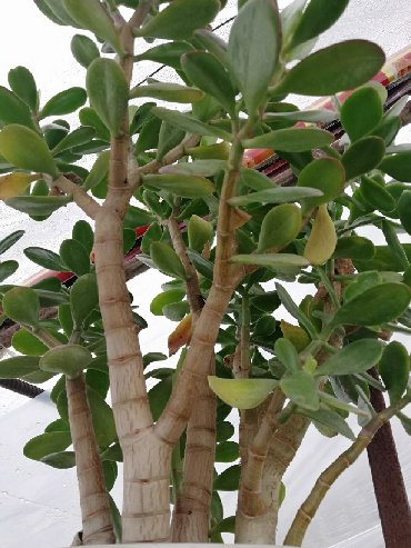 цветущий денежное дерево в Кыргызстан: Денежное дерево!)