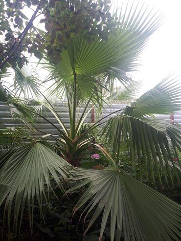 Otaq bitkiləri Sumqayıtda: Palma