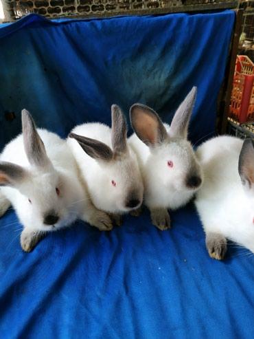Крольчата1,5 месяца порода Калифорния. есть разные линии. в Кок-Ой