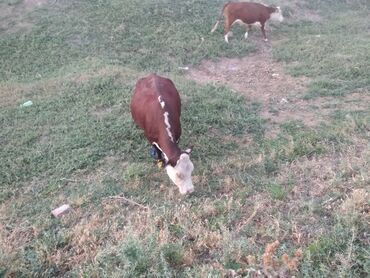Животные - Кара-куль: Продаю | Корова (самка) | Герефорд | Для разведения | Племенные