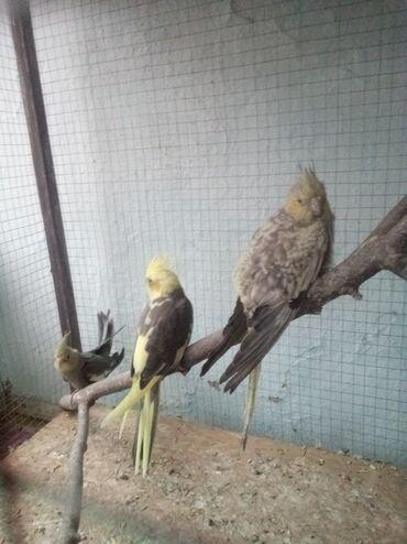 Продам или обмен три птенцы корелл на певчих попугаев