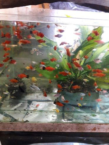 Вам нужны рыбки ? звоните цены приемлимые в Бишкек