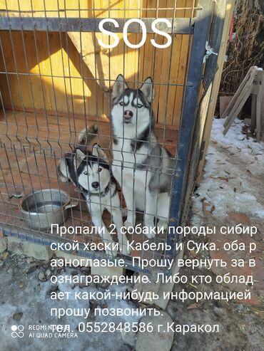 питомник хаски бишкек в Кыргызстан: Пропали2 собаки породы хаски