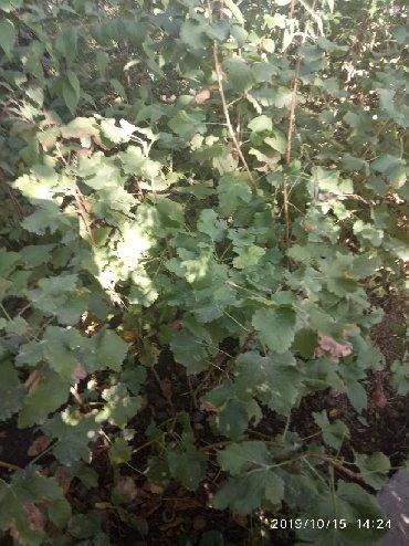 Смородина свежезамороженная - Кыргызстан: ПРОДАМ растения для вашего сада. 1) Смородина черная куст  2) Крыжовн