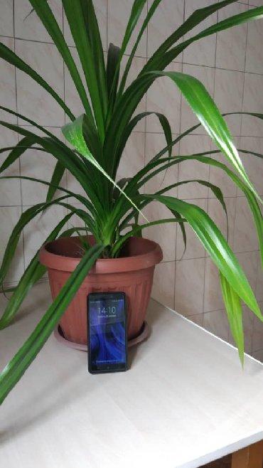 цветок для офиса в Кыргызстан: Продаю шикарный цветок для офиса,смотреть /забирать