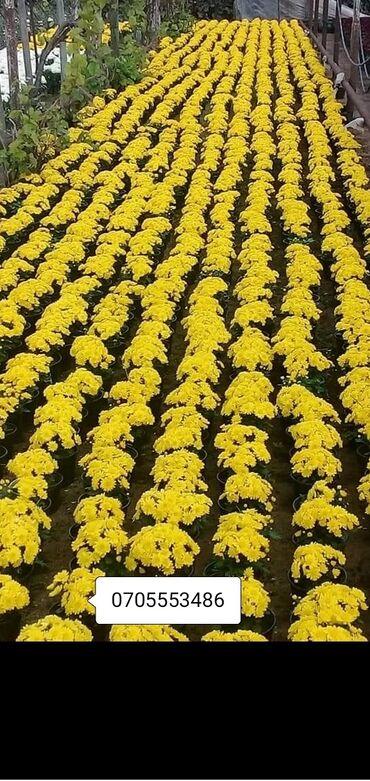 Otaq bitkiləri - Azərbaycan: XIzantema payızda çiçək açan bəzək bitkisidir.3 rengi var ağ sarı