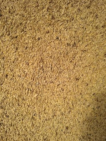 пшеницу 1 тонна в Кыргызстан: Куплю Ячмень, кукурузу, пшеницу. самовывоз