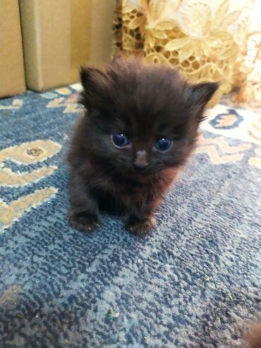 Отдам котенка в добрые руки. Котенку полтора месяца. Обжорка))). Мама