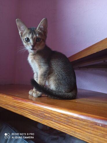 Аббесинская девочка, 2 месяца, к чистоте приучена