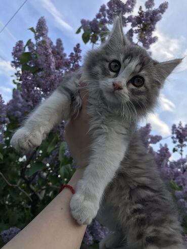 Коты - Кыргызстан: Отдам кошечку в хорошие руки. Девочка,2,5 месяца. Приручена к лотку