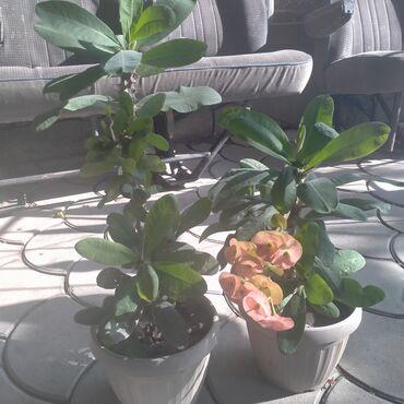 149 объявлений: Цветы малочай кактусное растения два горшка за 1500 сомов фикус в